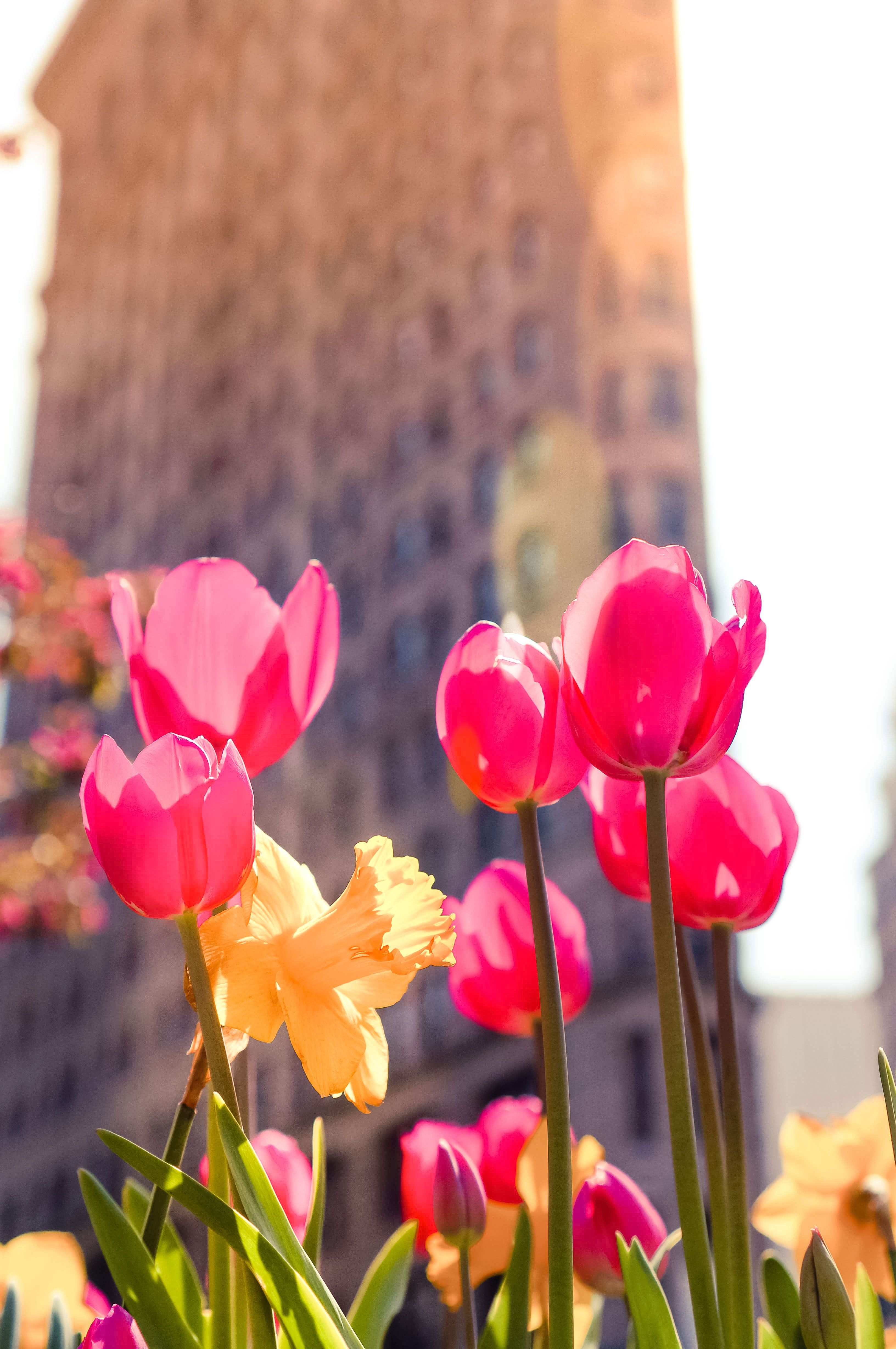 Flatiron-with-tulips-in-front
